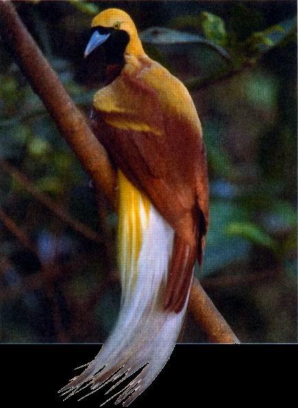 Райские птицы, пожалуй, самые пестрые птицы в мире.  У некоторых из них ослепительно-яркие